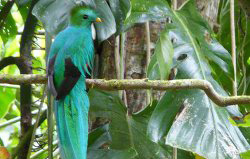 The famous Quetzal in Boquete